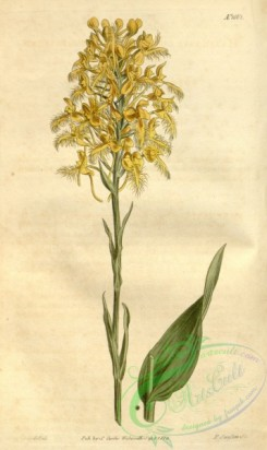 florida_orchids-00088 - Platanthera ciliaris (as Habenaria ciliaris) - Curtis' 40 pl. 1668 (1814)