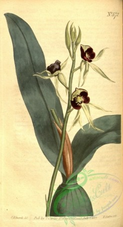 florida_orchids-00090 - Prosthechea cochleata (as Ep. cochleatum) - Curtis' vol. 16 pl 572 (1803)