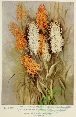 florida_orchids-00140 - White-fringed Orchis, habenaria blephariglottis, Yellow-fringed Orchis, habenaria ciliaris