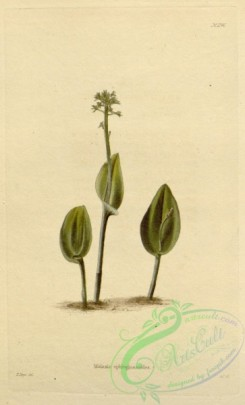 florida_orchids-00194 - malaxis ophioglossoides