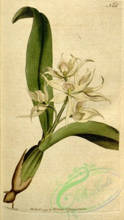 florida_orchids-00301 - Prosthechea fragrans (as Epidendrum cochleatum Curtis)-Curtis 5-152 (1792)