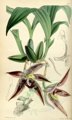 flowers-05951 - 4836-paphinia cristata, Crested Paphinia [2114x3535]