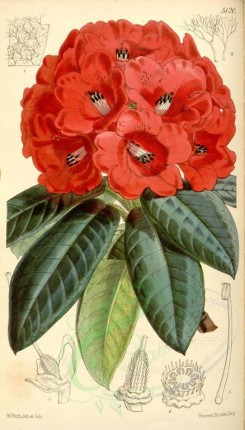 flowers-06235 - 5120-rhododendron smithii, Sir James Smith's Rhododendron [1996x3499]