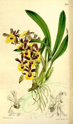 flowers-06308 - 5193-oncidium longipes, Long-stalked Oncidium [2072x3523]