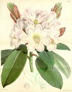 flowers-06711 - 5596-rhododendron fortunei, Mr Fortune's Rhododendron [3240x4125]