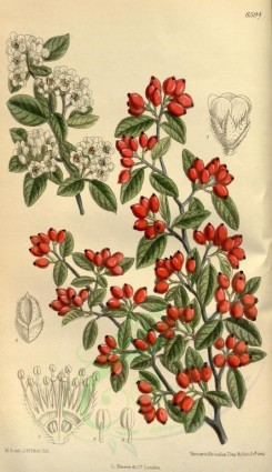 flowers-09598 - 8594-cotoneaster pannosa [2076x3596]
