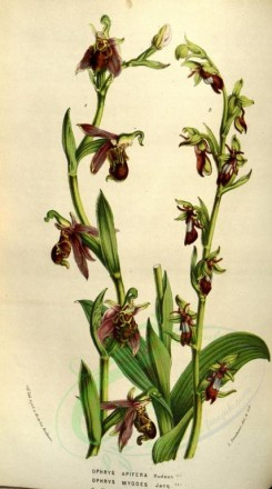 flowers-11513 - ophrys apifera, ophrys myodes [2031x3636]