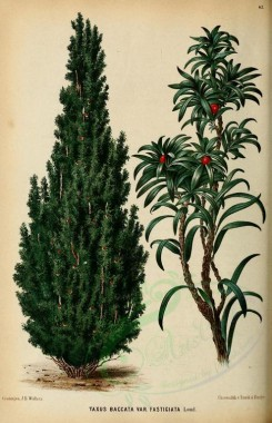 flowers-13021 - taxus baccata [1967x3049]