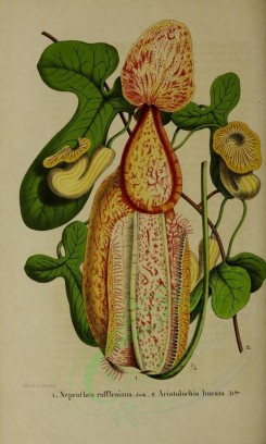 flowers-13913 - nepenthes rafflesiana, aristolochia lineata [2702x4500]