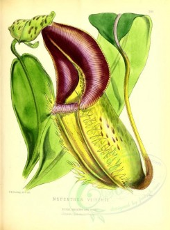 flowers-17591 - nepenthes veitchii [3047x4098]