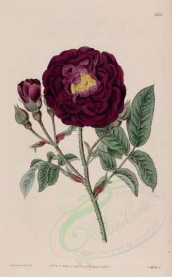 flowers-19542 - 448-rosa gallica cuprea, Officinal Rose Tuscany Rose [2661x4262]