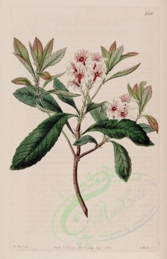 flowers-19562 - 468-raphiolepis indica, China Hawthorn or Raphiolepis [2788x4316]