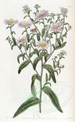 flowers-21052 - 1571-aster adulterinus, Glossy Aster [2676x4366]