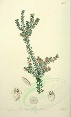 flowers-21452 - 1783-empetrum rubrum, Red Crowberry [2545x4187]