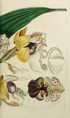 flowers-21601 - 1837-stanhopea insignis, Noble Stanhopea, 2 [2104x3529]