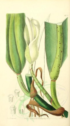 flowers-21822 - 1958-philodendron crassinervium, Thick-ribbed Philodendron [1554x2795]