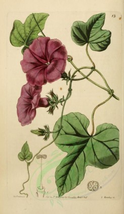 flowers-22386 - 013-ipomoea ficifolia, Fig-leaved Ipomoea [2068x3549]