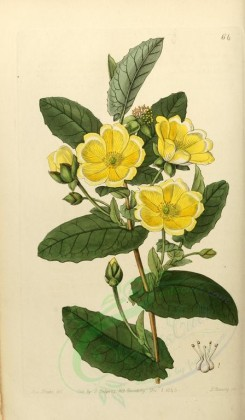 flowers-22721 - 064-hibbertia perfoliata, Thorough-wax Hibbertia [2129x3642]