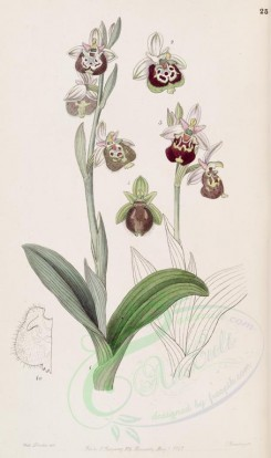 flowers-23025 - 025-ophrys fuciflora, Painted-lipped Ophrys [2781x4698]