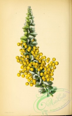 flowers-25976 - Coulter-shaped-leaved Acacia, acacia cultriformis [2809x4514]