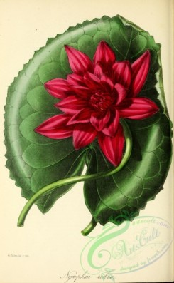 flowers-26004 - Red-flowered Water-Lily, nymphaea rubra [2822x4567]