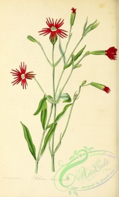 flowers-26510 - Cut-petalled Catchfly, silene laciniata [2732x4490]