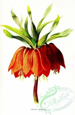 flowers-26578 - Crown Imperial, fritillaria imperialis [1307x1993]
