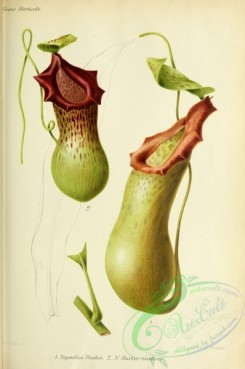flowers-29049 - nepenthes burkei, nepenthes burkei excelens [3303x4979]