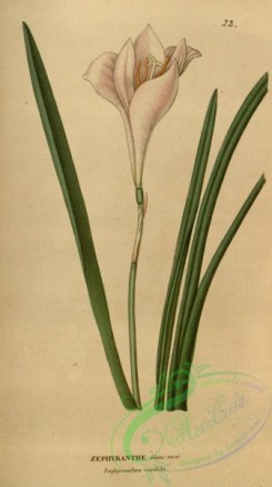 flowers-31402 - zephyranthes candida [1898x3388]