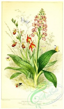 flowers-31582 - Orchidaceous Flowers, Salep, orchis mascula, Bee Orchis, ophrys apifera, Venus's Slipper, cypripedium calceolus [1489x2554]