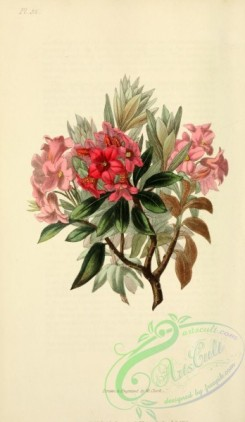 flowers-31862 - Rust-leaved Rose-bay, rhododendron ferrugineum [2001x3450]