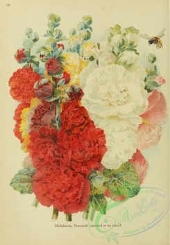 flowers-32284 - Perennial Hollyhocks assorted or by color [1986x2862]