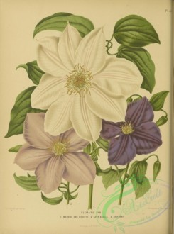 flowers-33366 - Clematis