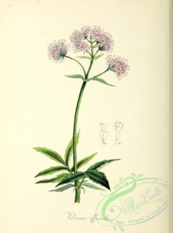 flowers-34076 - valeriana officinalis