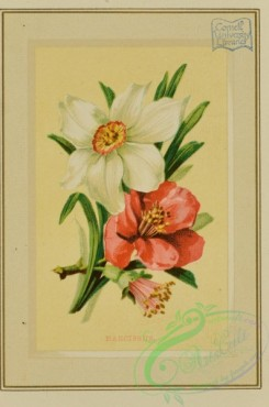 flowers-35963 - 002-Narcissus