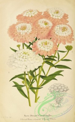 flowers-36019 - 009-Candytufts