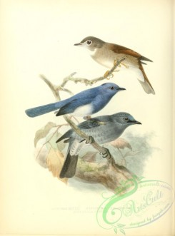 flycatchers-00018 - Brown-breasted Flycatcher or Layard's F., Black-naped Monarch or Black-naped Blue F., Dull-blue F.