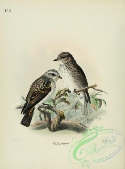 flycatchers-00027 - SPOTTED FLYCATCHER