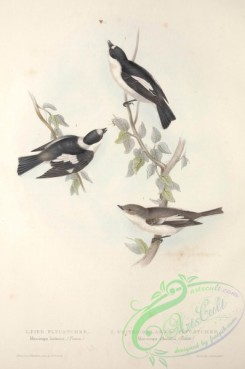 flycatchers-00044 - PIED FLYCATCHER, WHITE-COLLARED FLYCATCHER