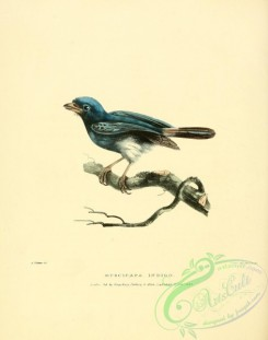 flycatchers-00073 - Indigo Flycatcher