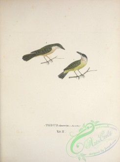 flycatchers-00081 - Common Tody-Flycatcher, todus cinereus
