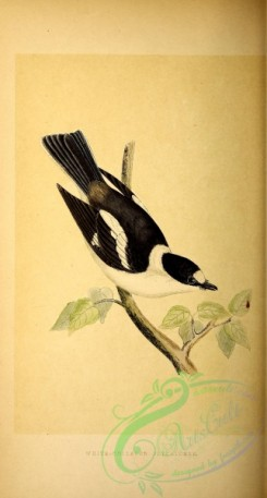 flycatchers-00086 - White-collared Flycatcher