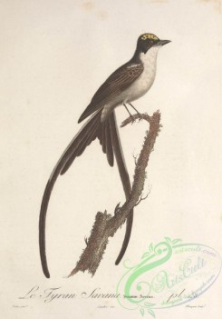 flycatchers-00091 - Fork-tailed Flycatcher