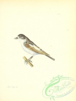 flycatchers-00147 - Pied Flycatcher, muscicapa luctuosa