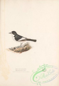 flycatchers-00149 - Pied Flycatcher, muscicapa luctuosa