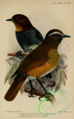 flycatchers-00155 - brachypteryx poliogyna, White-browed Jungle-Flycatcher, rhinomyias insignis