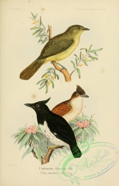 flycatchers-00162 - andropadus flavescens, Black-and-white Shrike-flycatcher, bias musicus