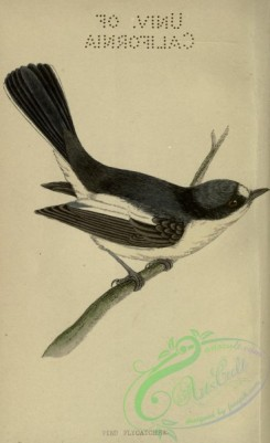 flycatchers-00169 - Pied Flycatcher