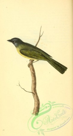 flycatchers-00177 - Grey-headed Canary-Flycatcher, platyrhynchus ceylonensis