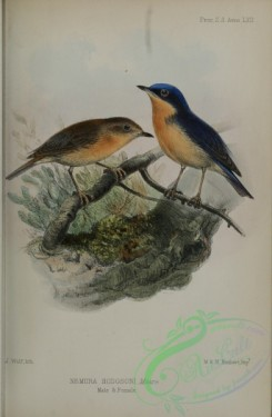 flycatchers-00179 - Pygmy Blue-Flycatcher, nemura hodgsoni